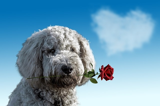 Dog with Red Rose - Valentines Day