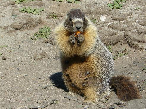 A Yellow Bellied Marmot found up at Squaw Valley's High Camp on 7-23-11 eating a paint ball pellet