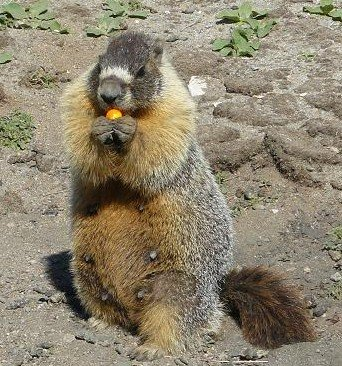 A Marmot Eating a Paint Ball Pellet